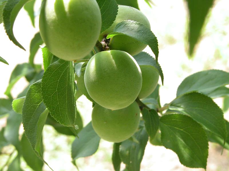 「梅の実」の画像検索結果