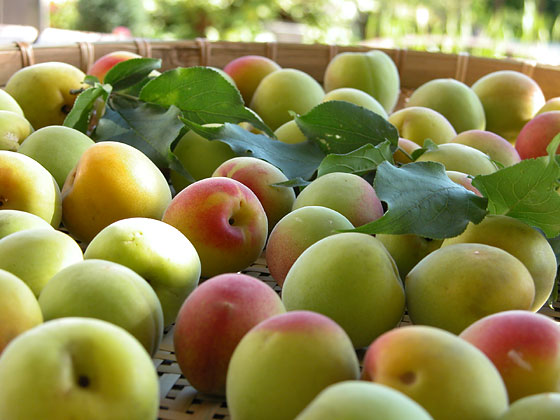 梅の熟度・用途 梅のある生活|梅仕事